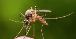 Photo of Know About The Mosquito And Some Of its Species